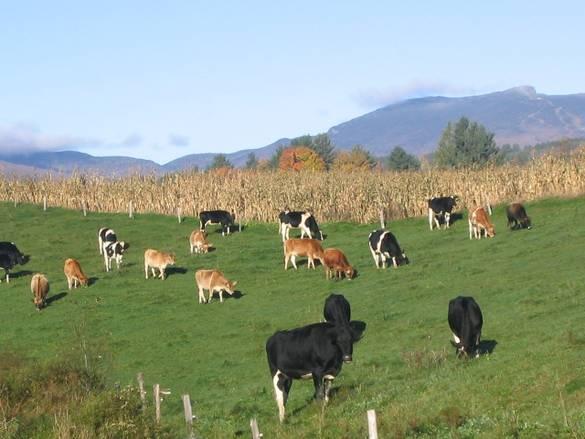 Cow Pastures