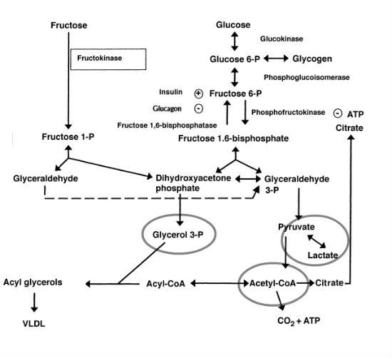 fructose metabolism