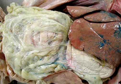 fatty organs